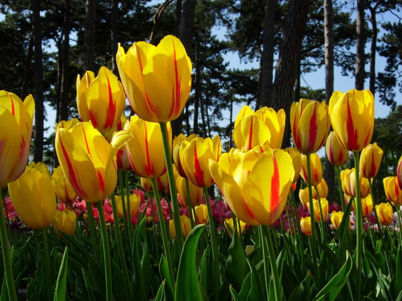 Tulipany – jak o nie dbać?